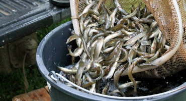 Piešķirts finansējums zivju resursu pavairošanai un atražošanai