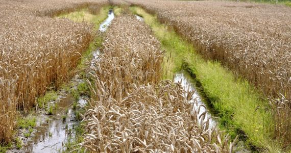 4. septembrī sāks informācijas apkopošanu par plūdos iznīcinātajām lauksaimniecības platībām