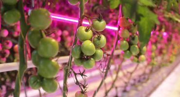 Stāsts par Kārsavas novada uzņēmumu Latgales Dārzeņu Loģistika Mežvidu tomāti