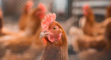 No 7. februāra noteiktas papildu biodrošības prasības mājputnu novietnēs, lai mazinātu putnu gripas pārnešanas iespēju uz mājputnu novietnēm