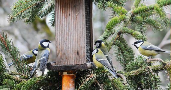 Putnu gripas laikā dārza putnus barotavās var turpināt barot