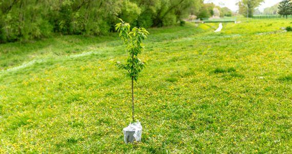 Pasaules talka aicina – iestādi savu Laimes koku!